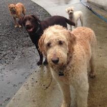 Very wet dogs Maui,Otis,Molly & Apollo