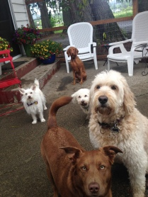 Maui with her Entourage Darby, Teddy, Aria & Ms Daisy