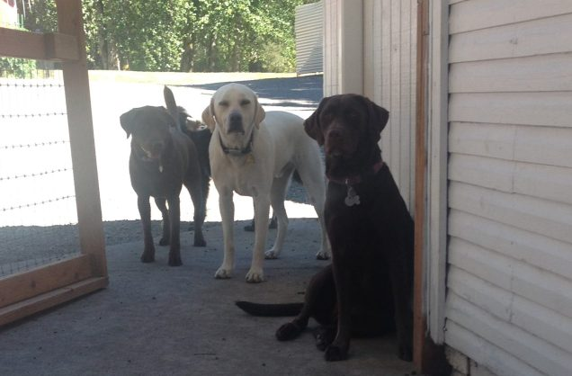 Labs on Deck Otis, Gunner & Baylee